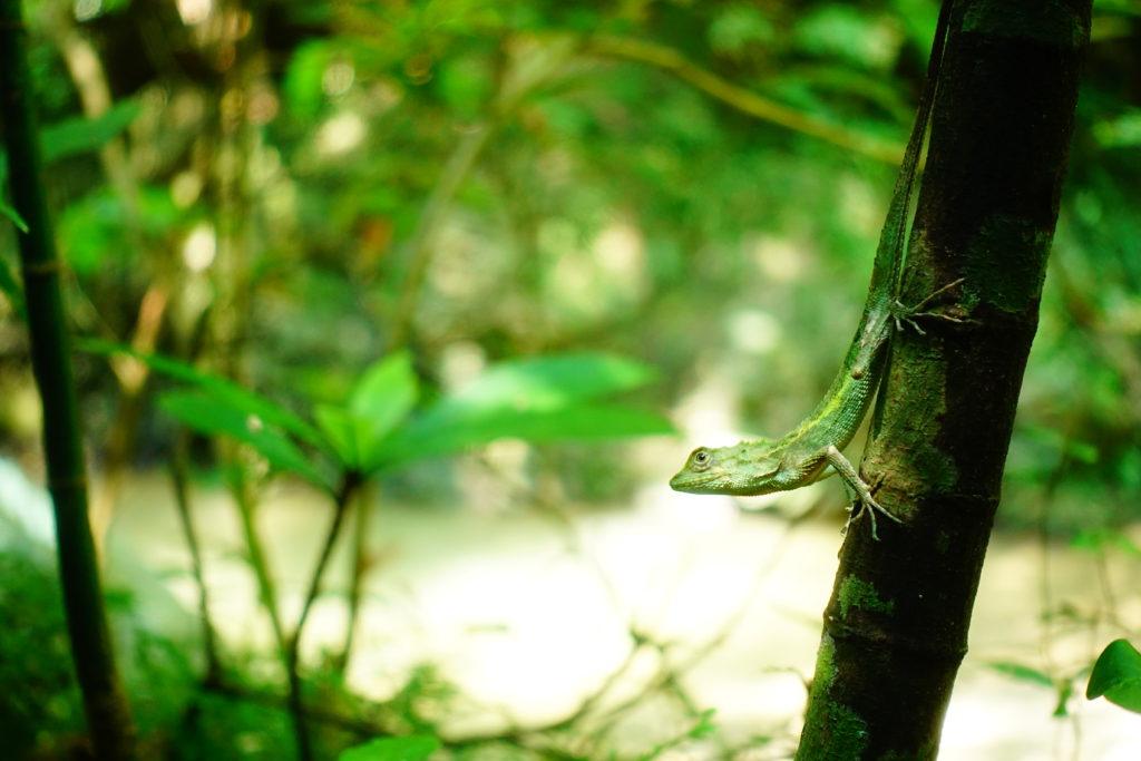 キノボリトカゲ